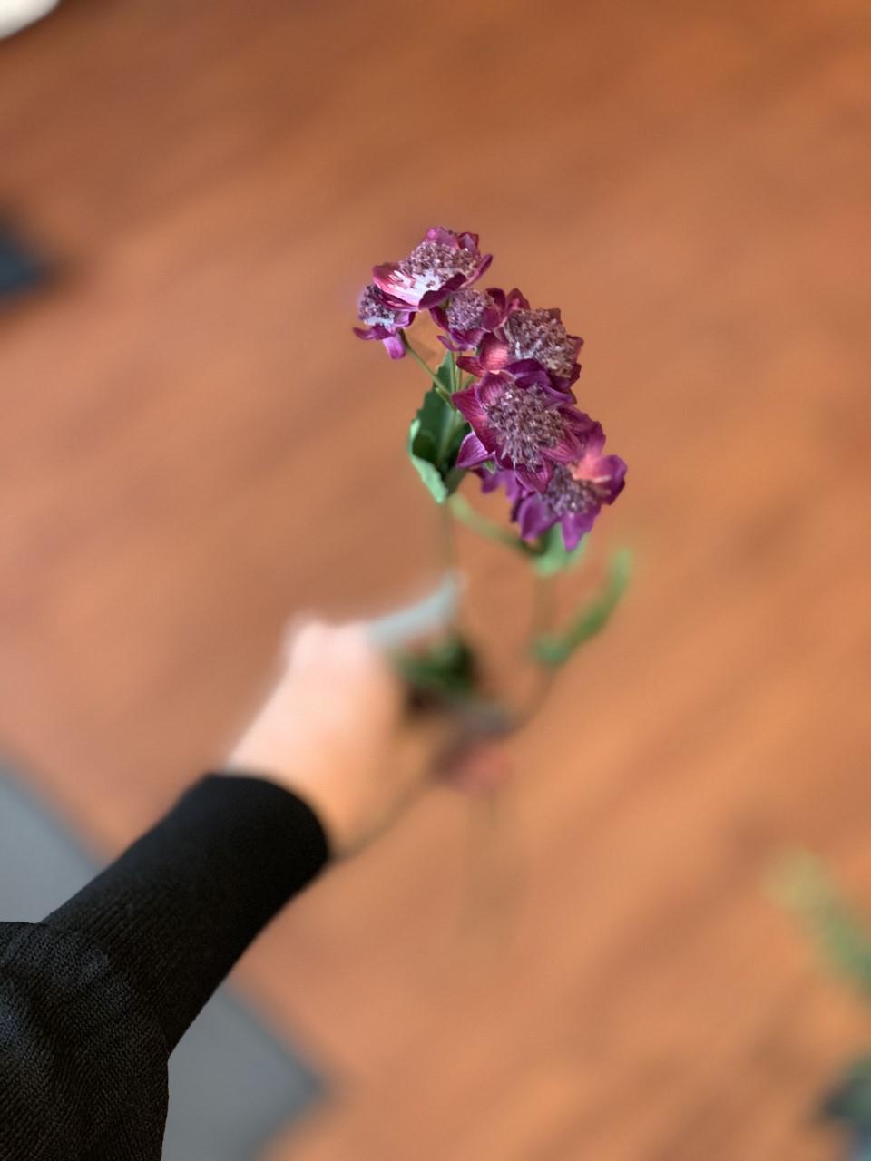 mr Plant Astrantia Snitt